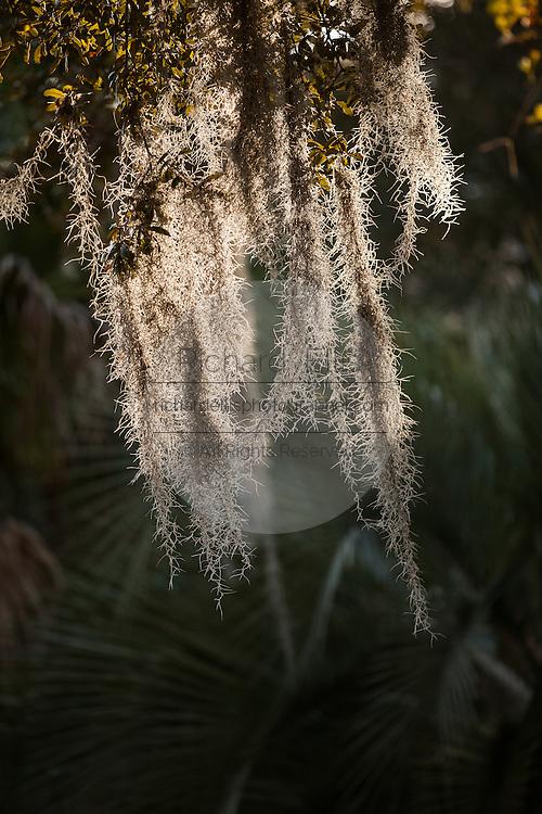 Spanish moss growing on a live oak tree on the Isle of Palms, SC.