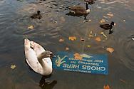 Un grupo de patos nada en el lago del parque Saint James. Londres, 27-11-2005. (ivan gonzalez)