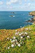 Lizard Point cliff flowers