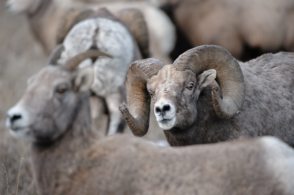 A Bighorn ram (Ovis canadensis) keeps his eye on a nearby ewe during the Autumn rut, Western Montana