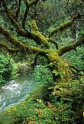 Elk river and a moss covered oregon myrtle (Umbellularia californica) tree in temperate rainforest, Oregon coastal mountains. Siskiyou national forest.