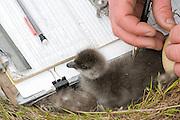 Black Brant; Branta bernicla nigricans, gosling to be web tagged, Yukon Delta NWR, Alaska
