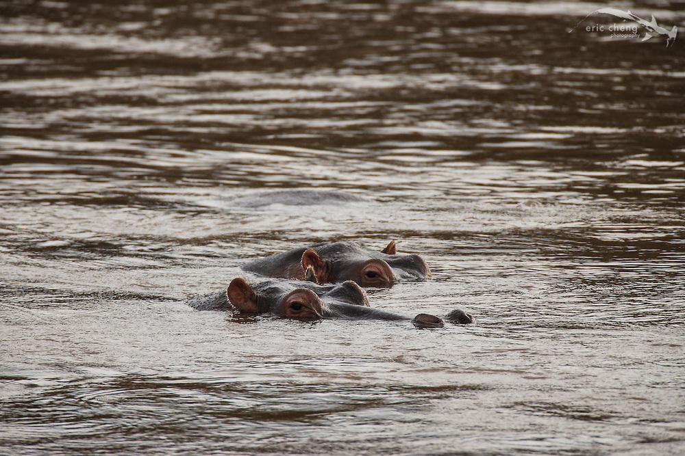 Two hippos (Hippopotamus amphibius) in a river, Serengeti, Tanzania
