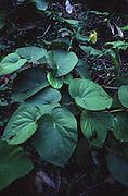 Kava Plant, Kadavu, Fiji<br />