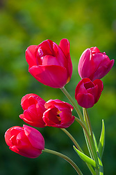 Tulipa 'Red Georgette'