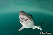 salmon shark, Lamna ditropis, with salmon in mouth, Prince William Sound, Alaska, U.S.A.