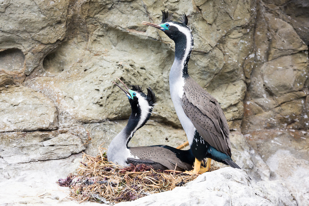 A pair of spotted shags (Stictocarbo punctatus) in full breeding plumage, about to copulate, with the male standing to the right of the female who is lying on the nest. Ohau Point, Canterbury, New Zealand. September.