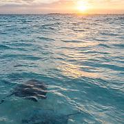 Stingrays swimming close to the surface. Stingray City. Grand Cayman Island.