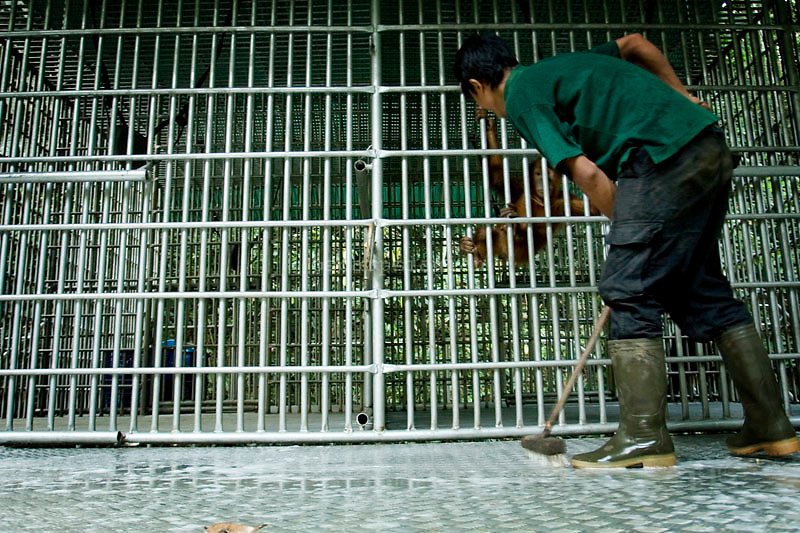 The FZS worker cleaning the cage of Orang Utan inside center of reintroduction at Danau Elo station, jambi Indonesia. Orang Utan is one of enddangered animal that live in Indonesia and malaysia forest. Their DNA is 97% same like human