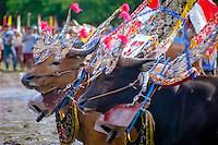 Bali, Buleleng, Lovina. Bullracing on Lovina, North Bali. The bulls taking part in the race are beautifully decorated.