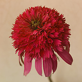 2015 September Coneflower