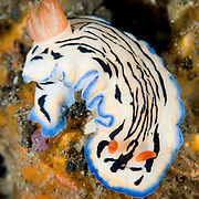 Hypselodoris maritima nudibranch in Lembeh Straits, Indonesia.