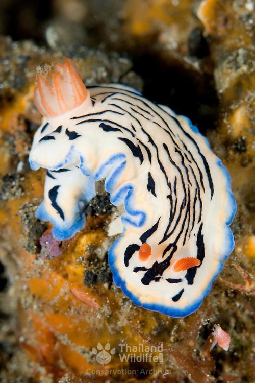 Hypselodoris maritima nudibranch in Lembeh Straits, Indonesia.
