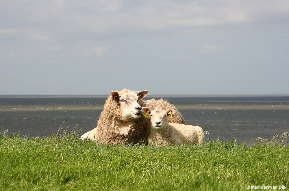Schaap met lammeren op zeedijk Waddenzee