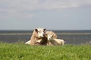 Schapen - Sheep