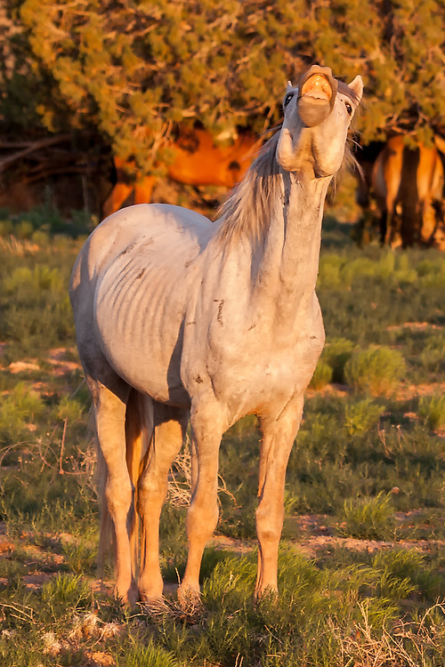 A wild stallion answers the call of his people, Sandoval County, New Mexico