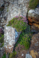 Heather plants growing out of cliff rocks in Scotland.