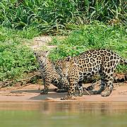 Two South American jaguars sitting by the water.