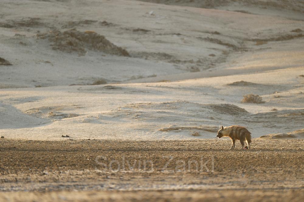 Brown hyena (Parahyaena brunnea oder Hyaena brunnea), Tsau-ǁKhaeb-(Sperrgebiet)-Nationalpark, Namibia   Schabrackenhyäne (Parahyaena brunnea oder Hyaena brunnea) in der nähe des Baus, Sperrgebiet National Park, Namibia