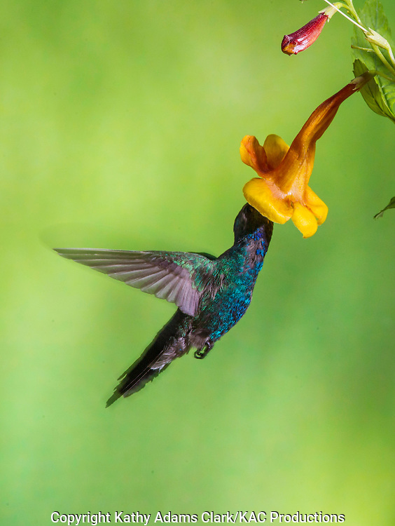 Broad-billed Hummingbird; Cynanthus latirostris; feeding on tecoma, trumpet flower, Sonoran Desert; Southern; Summer; Arizona;