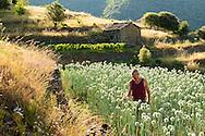 France, Languedoc Roussillon, Gard, Cévennes, oignons doux des Cévennes, Saint Martial, Philippe Léonard, oignons en fleur, pour les graines
