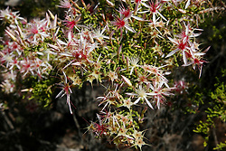 Calytrix, or turkey bush, covers coastal hillsides around the Kimberley.