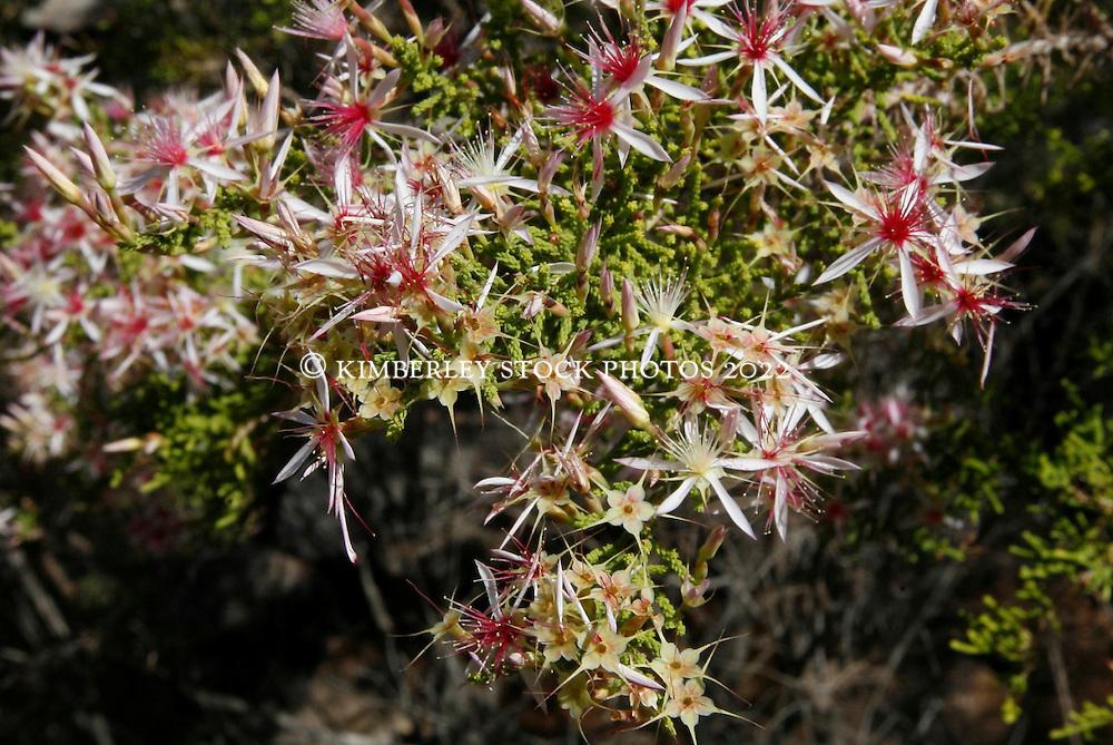Calytrix, or turkey bush, covers coastal hillsides around the Kimberley.