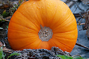 close up of ripe orang pumpkins in Pumpkin field. Pumpkins (Cucurbita sp.) growing in a field. These plants produce large edible fruits. Photographed in Neustift, Stubaital, Tyrol, Austria in September