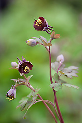 Aquilegia 'Fruit and Nut Chocolate'