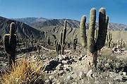 Cactus trees in the Quebrada de Huamacana, Unesco world heritage sight, Argentina