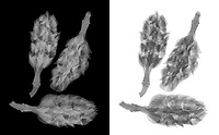 X-ray image of magnolia pods (Magnolia, grayscale) by Jim Wehtje, specialist in x-ray art and design images.