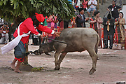 SHOCKING IMAGES as Water buffalo slaughtered for harvest<br /> <br /> These shocking images show a water buffalo as the animal is slaughtered in front of a crowd the  Mangalahat Horbo Bius or sacrificing water buffaloes with speared to death has been a long standing tradition among the native Batak people at Samosir island in North Sumatra, Indonesia. The animal is sacrificed to give thanks to the spirits and ask them for a fruitful harvest. After the ritual, the meat of the buffalo is distributed among the people.<br /> The Mangalahat Horbo Bius was forbidden by the colonial administration in agreement with the demands made by the missionaries.<br /> ©Afriadi Hikmal/Exclusivepix Media
