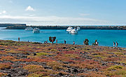 Vegeration on South Plaza (Galapagos) is dominated by the Galapagos Carpet Weed (Sesuvium edmonstonei) and Opuntia cacti. In the background are tourists vessels and the twin island North Plaza.