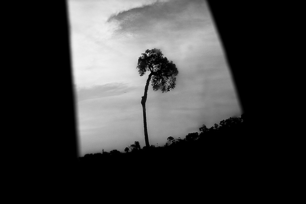 BRAZIL, SANTAREM. AMAZON, OCTOBER 2008. A nut tree in an area that was deforested and used to grow soya.
