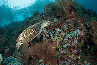 Hawksbill Turtle Cruising the Reef..Shot in Indonesia
