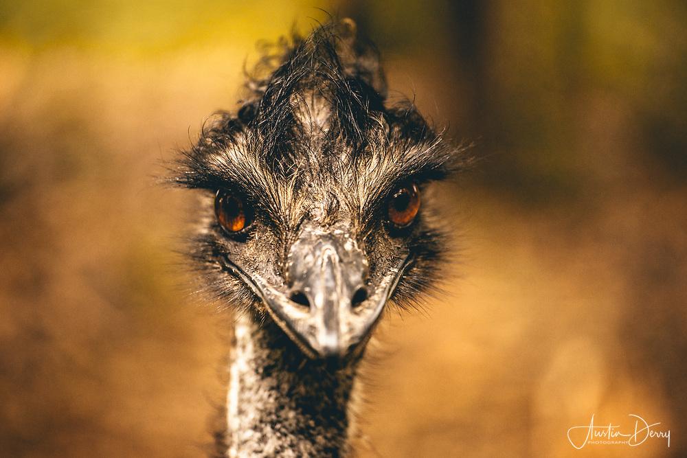 Emu Stare
