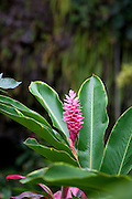 Pink Ginger Flower, Fern Grotto, Wailua River, Kauai, Hawaii