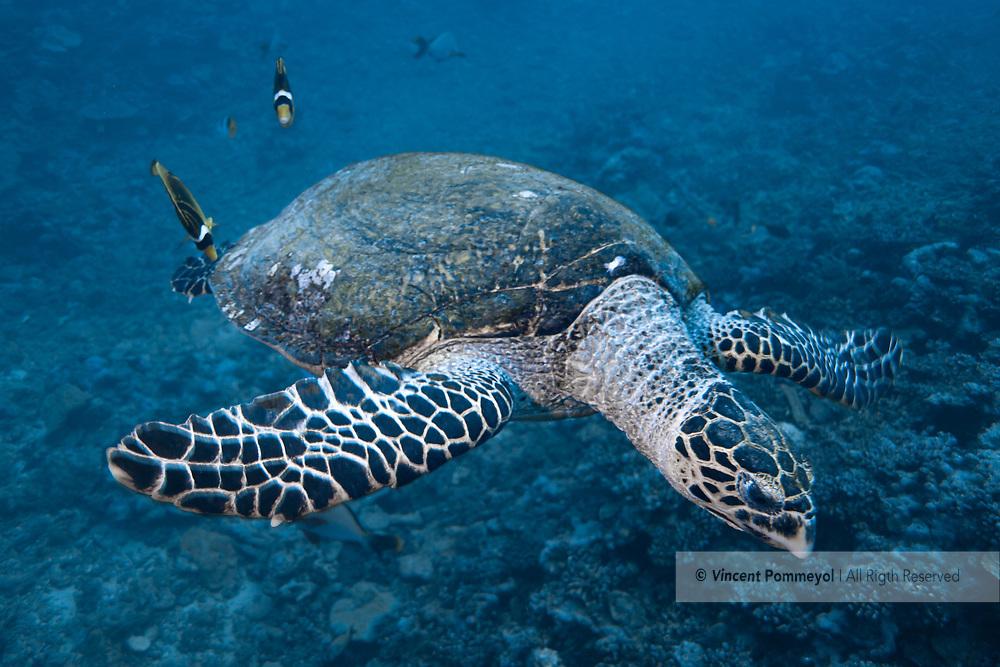 Hawksbill sea turtle-Tortue imbriquée (Eretmochelys imbricata), Moorea island, French Polynesia.
