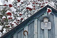 Snow covered berries surround an old building in Sandon, BC.