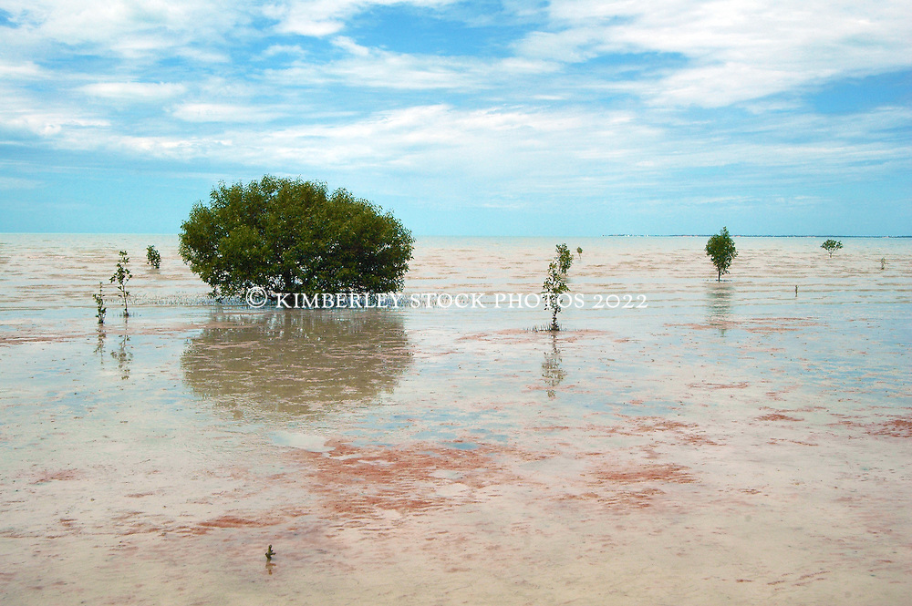 Mangroves growing in fine mud at Crab Creek to the south of Broome