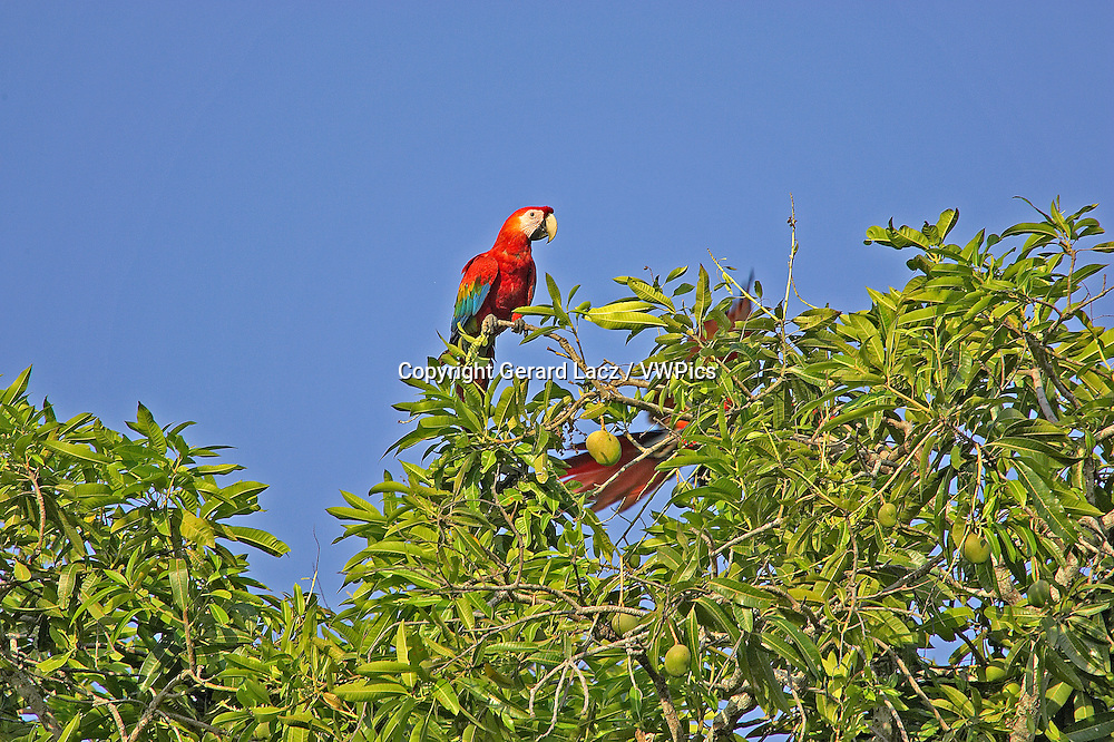 Scarlet Macaw, ara macao, Pair perched on Mango Tree, Los Lianos in Venezuela