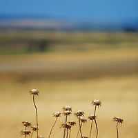 Cotton thistle plants in the Spanish village of Morales del Vino, Zamora province, on July 22, 2001. Photo Rafa RIVAS