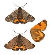 70.204 (1662)<br /> Light Orange Underwing - Boudinotiana notha