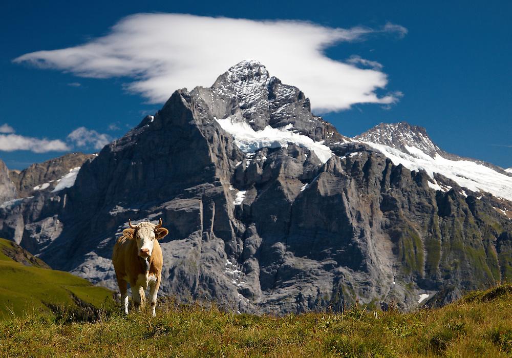 Switzerland - Cow in front of Wetterhorn