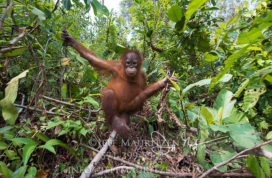 A young Bornean orangutan, Pongo pygmaeus in the forest in Tanjung Puting National Park on the island of Borneo, Indonesia.