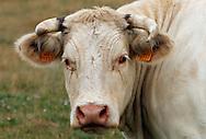 18/07/05 - YTRAC - CANTAL - FRANCE - Bovin viande. Elevage de charolais au GAEC VIDAL - Photo Jerome CHABANNE