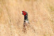 Upland Birds