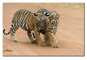 Tiger cubs. Tadoba National Park, India.  Nikon D4, 200-400mm @ 400mm, f4, 1/800sec, ISO1000, Aperture priority