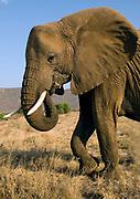 African Elephant (Loxodonta africana) feeding in Samburu National Reserve, Kenya.