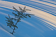 Balsam fir (Abies balsamea ) sapling in winter with shadows<br /> Whitefish Falls<br /> Ontario<br /> Canada